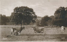 PC84239 Jersey Cows. Photochrom. Exclusive. No 4629. 1923
