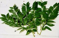 Fresh Curry Leaves (Murraya koenigii). California-grown + organic. 1-oz package