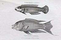 1803 Shaw SCARCE COPPER PLATE ENGRAVING Trilobate Labrus EXCEPTIONAL Fish PRINT