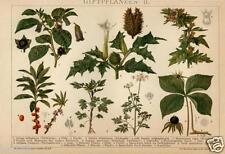 1898= PIANTE VELENOSE = Natura = Antica Stampa CROMOLITOGRAFIA