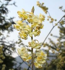 Essential oil Litsea lemon verbena exotic Joss cubeba 500 ml