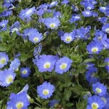 Nolana- Chilean Bellflower- Blue- 50 Seeds