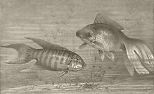 FISH. Paradise-& telescope- 1896 old antique vintage print picture