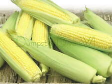 Early Golden Bantam Sweet CORN 35+ seeds Old Favorite Heirloom Organic NON-GMO