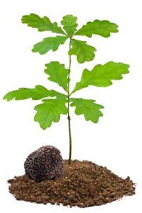 TRUFFLE mycorrhized Tree Plant Perigord Burgundy Summer Bianchetti Tuber TOP !!!