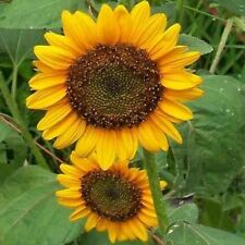 Sunflower- Dwarf Sunspot- 100 Seeds