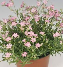 Fairy Flower Seeds Gypsophila - Filou Rose x25 seeds Easy and fast to Grow