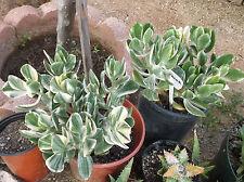 TRI-COLOR JADE PLANT - CRASSULA OBLIQUA - 1 UNROOTED CUTTING