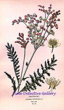 Botanical Illustration of Dropwort (Spiraea Filipendula) - Historic Art Print
