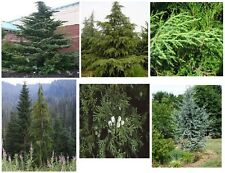 Cedar Trees   Cedar are Great Hardwood Trees    10 +   Seeds