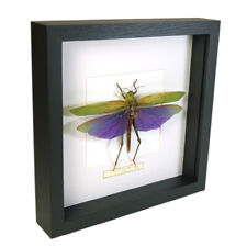 Real taxidermy insect mounted in black wooden frame - Grasshopper