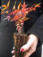 NANDINA DOMESTICA alveolo Bambù sacro arbusto sacred heavenly bamboo evergreen