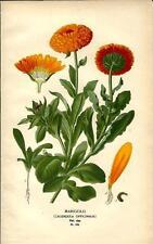 Stampa antica FIORI CALENDULA OFFICINALIS botanica 1896 Antique print flowers