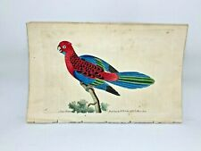 Splendid Parrot - 1783 RARE SHAW & NODDER Hand Colored Copper Engraving