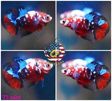 [TI-2619] Live Betta Fish High Quality HMPK Male Red Blue Galaxy Koi