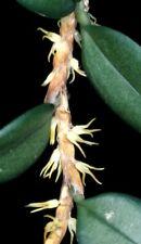 Bulbophyllum profusum `Naturform Orchidee´