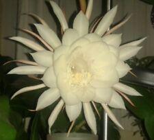 🌸🌷   Epiphyllum Blattkaktus Blattkakteen aus den Philippinen 🌸🌷 ca. 15cm