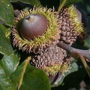 10+ Burr Oak Quercus Macrocarpa Seeds For Sale! Ontario Source Native Shade Tree