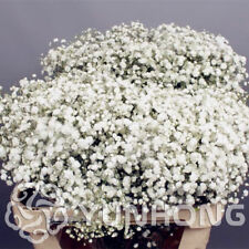 50PCs Seeds Aromatic Gypsophila Potted Paniculata Home Garden Bonsai Flowers