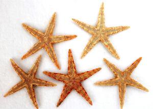 5 Seesterne ca. 7-10 cm Seestern Deko Fischernetz echte, flache Seesterne
