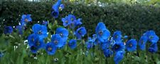 Poppy , Himalayan , BLUE MECONOPSIS , Rare Perennial Flower , 50 + Seeds Garden