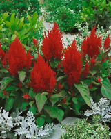 50 Celosia Seeds Plumed Forest Fire