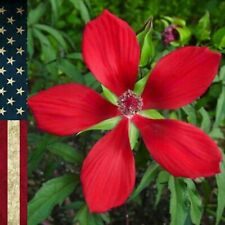 Seeds 25 Red Texas Star Hibiscus (coccineus) Perennial