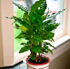 Seeds Rare Arabian Coffee Tree Flower Perennial Indoor Garden Organic Ukraine