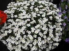 CUPFLOWER - 650 seeds  - WHITE ROBE - Nierembergia hippomanica - HANGING BASKETS