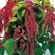 Pack Kings Seed Amaranthus 'Love Lies Bleeding' Flower Seeds