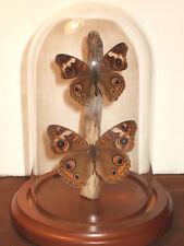 Buckeye Butterfly Dome