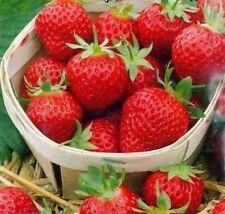 Wild Strawberry LYUBASHA Seeds perpetual red Ukraine 10 seeds