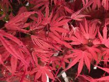 Japanese Maple Geisha Rare!