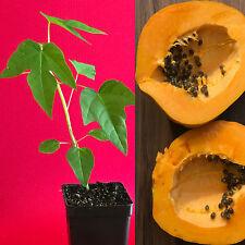 "Papaya Dwarf Waimanalo Seedling Carica Pawpaw  Plant Tropical Fruit Tree 8-14"""