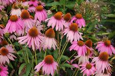 Echinacea Purpurea 'Medicinal'  Herb garden 35 seeds flower Heirloom