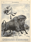 """Antique B/W Engraving (1897) – """"Tossed by a Prairie Bull"""" Hunter Hit by Buffalos"""