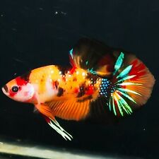 Live Betta Fish BIG YOUNG GIANT Multicolor Tiger Galaxy HMPK Male from Indonesia