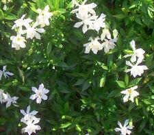 Gardenia jasminoides August Beauty Pint Plant FREE SHIP