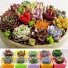 100Pcs Succulent Seeds Exotic Echeveria Cactus Stone Lithops Home Garden Plants