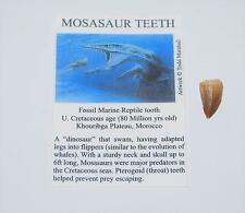 Mosasaur Dinosaur Tooth Fossil 1/2 inch Size Extra Small w/COA #2695 2o