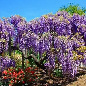 CHINESE BLUE WISTERIA - 5 CUTTINGS , FRAGRANT FLOWERS - TREE,