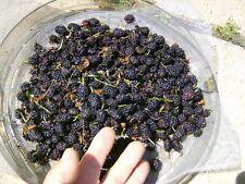 ONE BLACK MULBERRY TREE SEEDLING  - Morus nigra