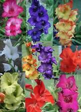 Gladioli - Gladiolus (Mixed ) Flower Bulbs x 24  -  EARLY BIRD SALE Free Post