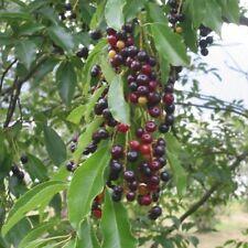 20 Cherry Seeds Black (Prunus Serotina) Tree Wild Fruit cherries - BKSeeds