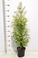 Mammutbaum, Metasequoia, Höhe: 110-120 cm + Dünger