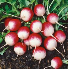 20+ RADISH Sparkler Seeds   NON-GMO   Fresh Vegetable Garden US SELLER