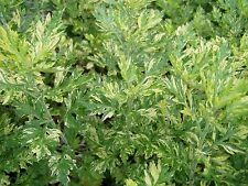 Artemisia vulgaris Variegated Mugwort Oriental limelight Quart Plant Free Ship