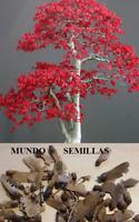 Acer Palmatum -  Arce Japonés hoja pequeña  -bueno para  bonsai - 100 semillas