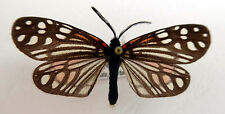 day flying moth, Campylotes maculosa from Taiwan, China,very rare n219a