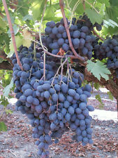 20+ FRESH Sweet Black Grape long variety seeds